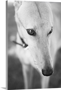 Greyhound, Black and White