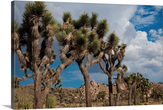 joshua tree big and beautiful singles Unique property on 25 acres in joshua tree big and beautiful ready for your final touches property is walled 3/4 of the lot with an electric gate ensuring privacy.