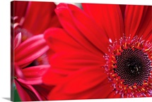 Red Gerbera Close-up