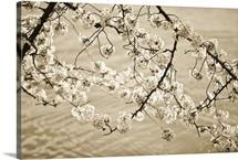 Sepia Cherry Blossoms II