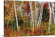 Vermont Birches