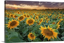 A beautiful sunflower field with mountains in the background, Longmont, Colorado