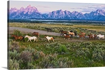 A herd of horses runs in front of the Grand Teton mountain range in rural Wyoming