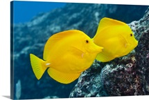 A Pair of Yellow Tangs swimming over a tropical coral reef.  Pacific Ocean, Hawaii, USA.