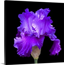 A purple iris against a black backdrop highlights its beauty