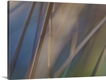 Abstract of leather leaf sedge (Carex buchanii) leaves in sunlight.