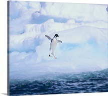 Adelie Penguin about to Jump into the Sea