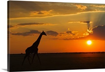 Africa, Botswana, Giraffe in central kalahari game reserve at sunset