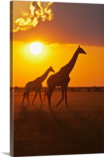Africa, Botswana, Giraffes in central kalahari game reserve at sunset