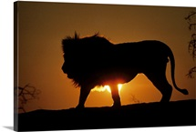 African lion (Panthera leo) against sunset, Africa