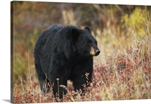 An American black bear (Ursus americanus) in autumn. Yellowstone National Park.