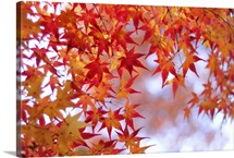 Autumn leaves of Japanese maple, Kyoto.