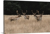 Bachelor herd of fallow deer {Dama dama} huddled together in a field in England.