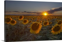 Beautiful sunflower field at sunset in rural Colorado.