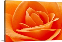 Beautifully detailed orange rose close up