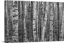 Birches stand clustered on Savoy Mountain near Tannery Falls.