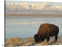 Bison grazing in winter on Antelope Island in Great Salt Lake.
