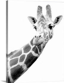Black and white portrait of a giraffe