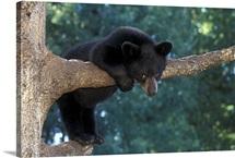 Black Bear cub, Ursus americanus, hanging onto tree limb, Minnesota, USA