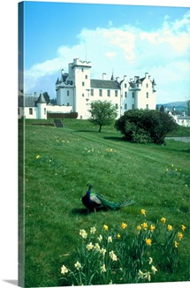 Blair Atholl castle with daffodils and peacock, Blair Atholl, Tayside, Scotland.