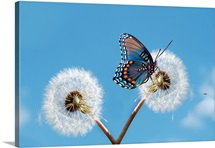 Blue butterfly on dandelion.