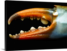 Blue crab claw, detail