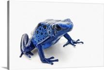 Blue Poison Dart Frog (Dendrobates Tinctorius)