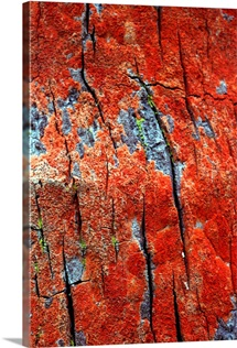 Bright redlichen growing on tree bark
