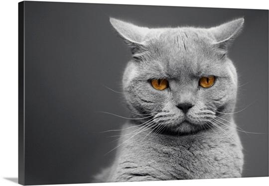 British Shorthair Cats With Orange Eyes Photo Canvas