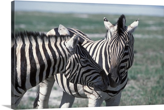 Burchells Zebras, Equus burchellii, rubbing noses. Etosha National Park, Namibia, Africa
