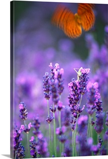 Butterfly in a Lavender Field, Provence-Alpes-Cote d'Azur, France