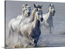 Camargue horses running on marshland to cross the river, South France