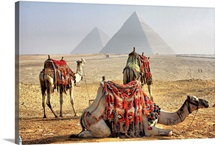 Camel Resting in desert with Egyptian pyramids in background.