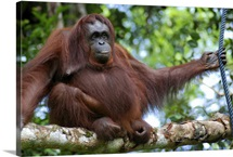 Cheeky orangutan sitting on branch in Borneo.