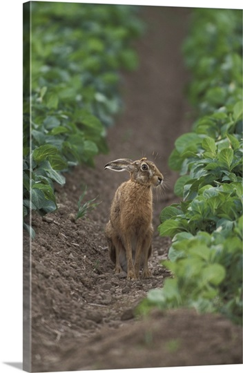 Close-up of a Brown Hare (Lepus Europaeus) in a Northumberland potato field