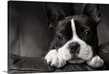Close-up of Boston Terrier Dog Lying on Couch