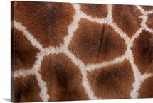 Close up of Giraffes Skin