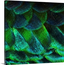 Close up of iridescent peacock feathers at zoo.