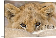 Close up of lion cub's face