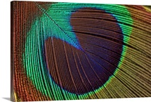 Close up of Peacock feather