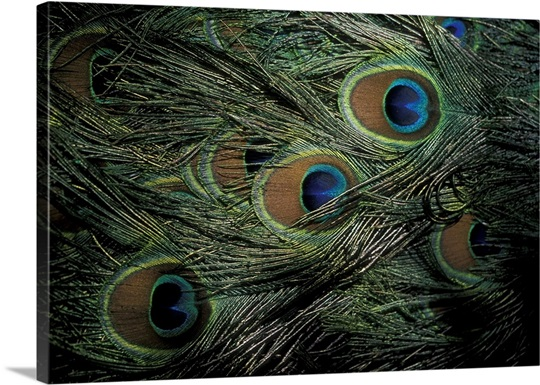 Close-up of peacock&#39;s plumage, Canary Islands, Spain