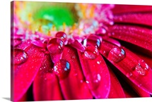Close up of rain droplets on pink gerbera flower.