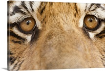 Close-up of Tiger's eyes