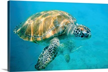 Close up of two sea turtles in Caribbean, Barbados, West Indies.
