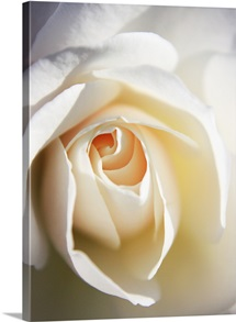 Close up of white Iceberg rose.