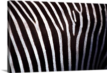 Close up of zebra's hide