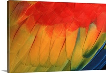 Closeup of Scarlet Macaw wing feathers (Ara macao) South America