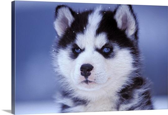Closeup Portrait Of Six Week Old Siberian Husky Puppy