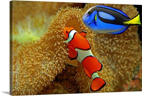 Clownfish And Regal Tang Photo Canvas Print Great Big Canvas