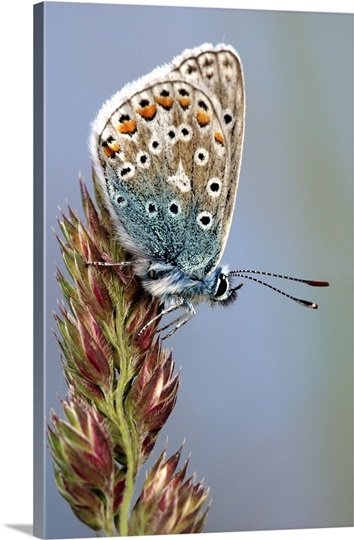 Common blue butterfly resting on a delicate flower in the rural countryside of Cornwall.